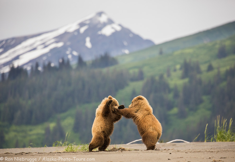 Brown bear cubs at playing on the beach, Lake Clark National Park, Alaska.