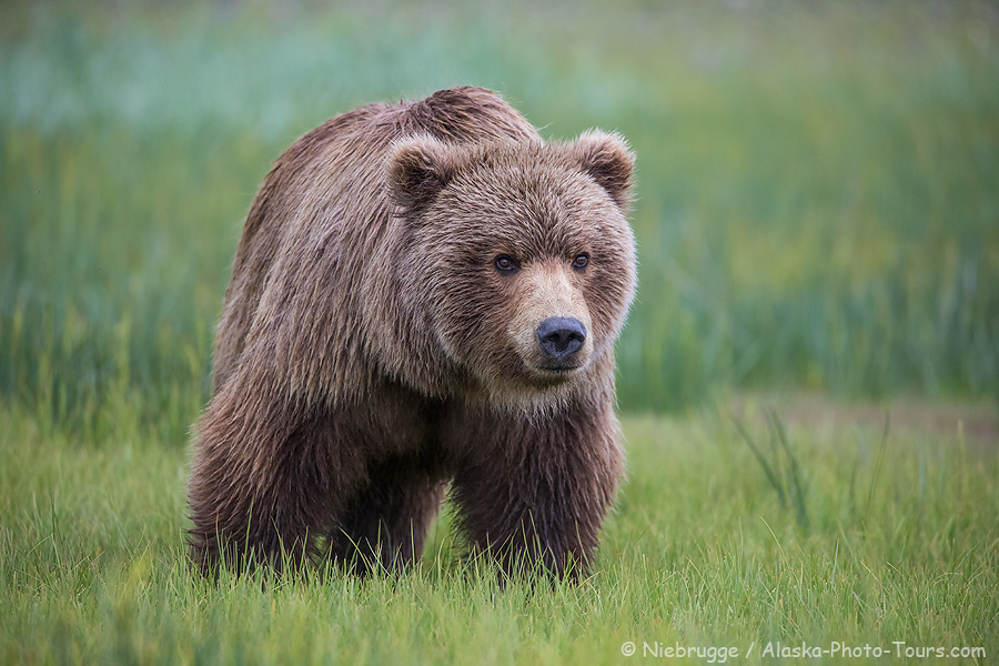 Brown bear, Lake Clark National Park, Alaska.