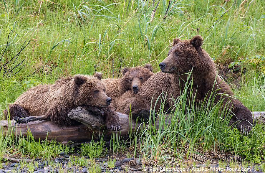 Brown bear family portrait, Lake Clark National Park, Alaska.