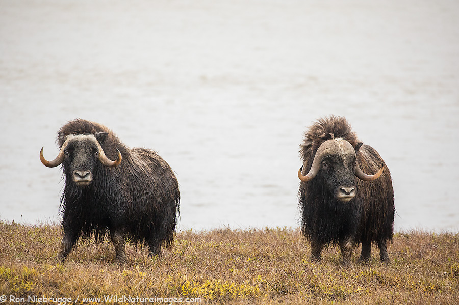 A pair of muskox along the Sag River earlier this month near Deadhorse, Alaska.