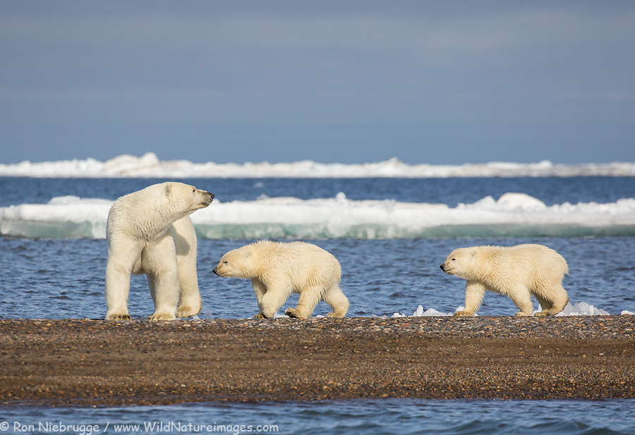 Polar bear sow with two cubs of the year.