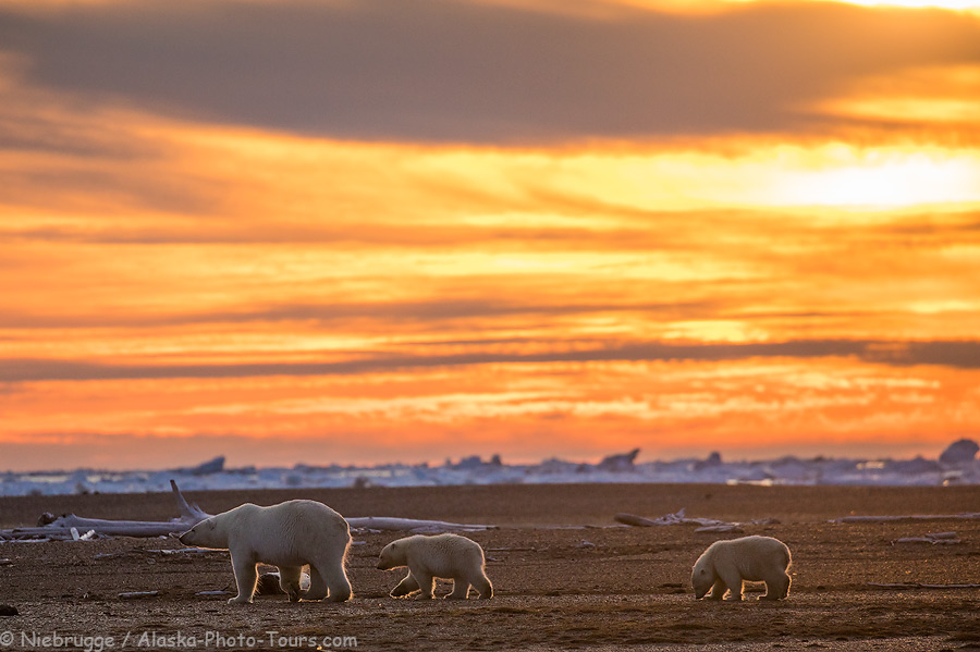 Polar bear sow with two first year cubs.