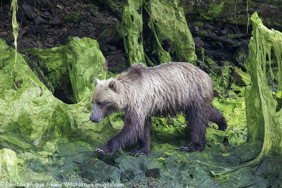 Brown bear on Chichagof Island, Tongass National Forest, Alaska.