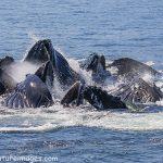 Cooperatively Feeding Humpback Whales