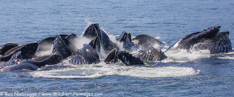 Humpback whales, Fredrick Sound, Alaska.