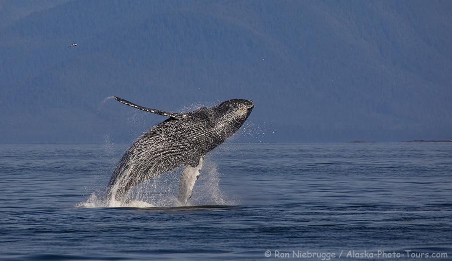 Humpback whale, Frederick Sound, Alaska.