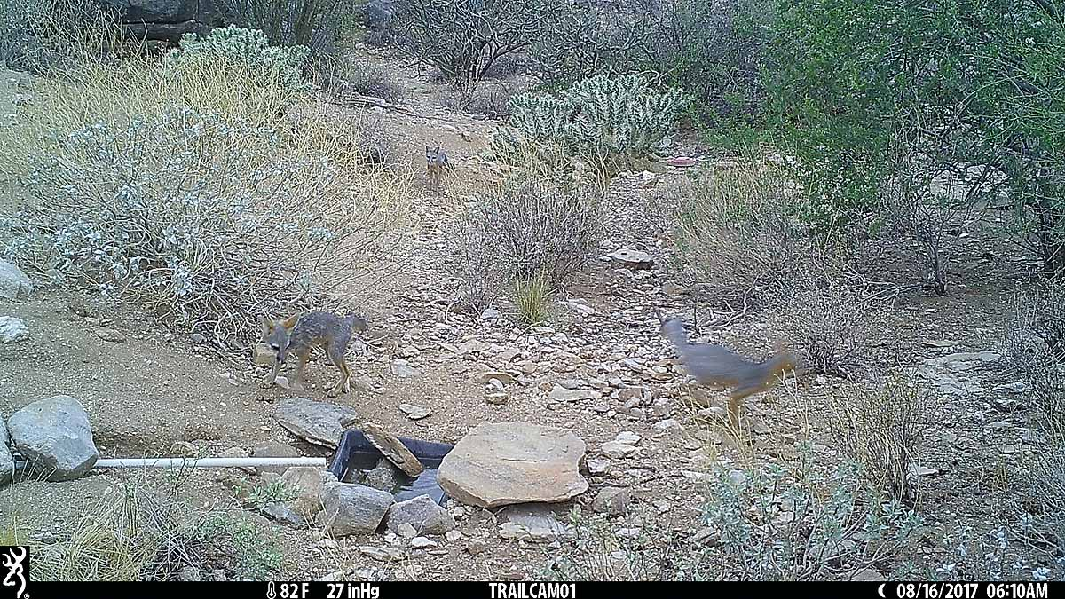 Three gray fox - gray fox came frequently every night, I think the whole family is still around.
