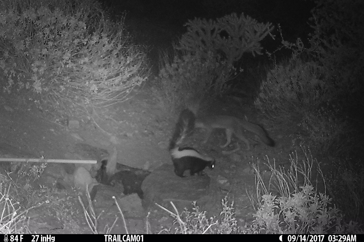 A gray fox and striped skunk pass each other very closely.  It didn't always show well in the game cam, but it wasn't uncommon for them to drink at the same time.