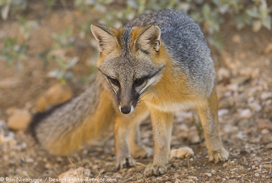 Gray Fox, Arizona.