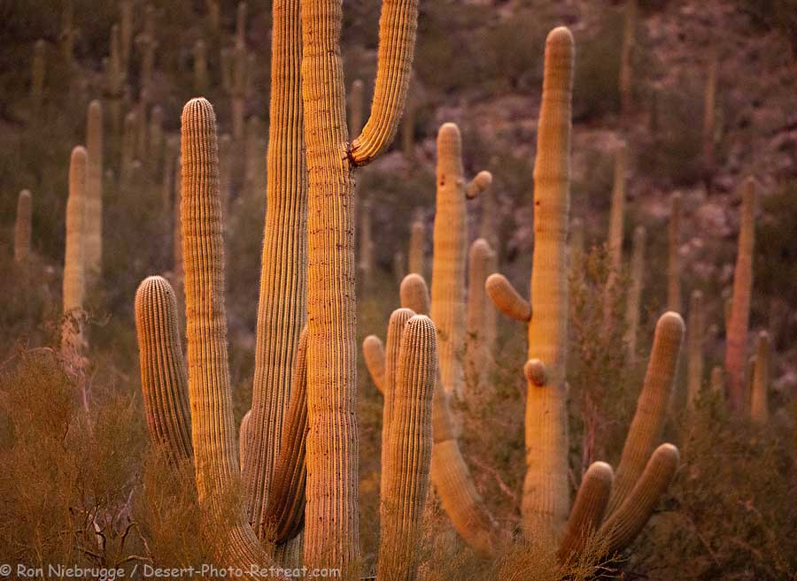 Cactus glowing at sunset from about a week ago, near Tucson, Arizona.