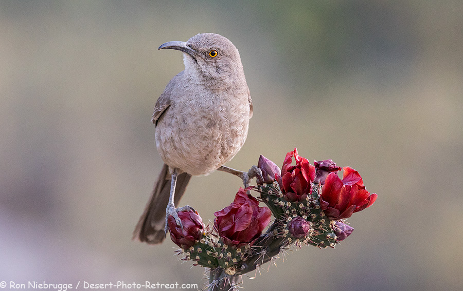 Curved-Billed Thrasher, Desert Photo Retreat, Arizona.