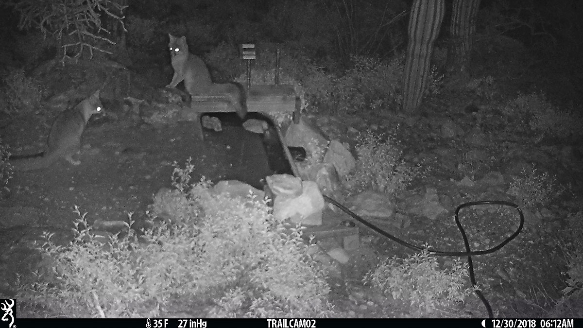Two gray-fox from early this morning.