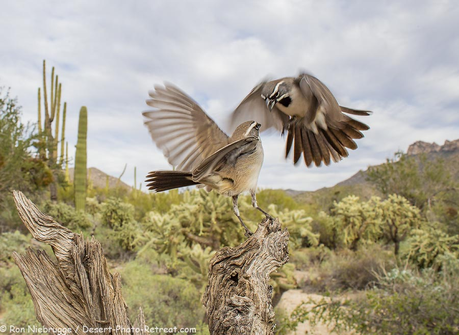 A couple of Black-throated Sparrows fighting for the same perch, Desert Photo Retreat, near Tucson, Arizona.