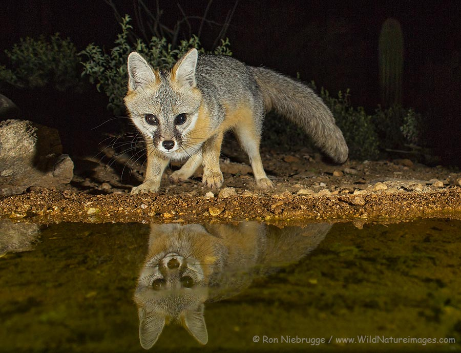 Gray fox at the waterhole in front of the upper blind, Desert Photo Retreat, Tucson, Arizona.