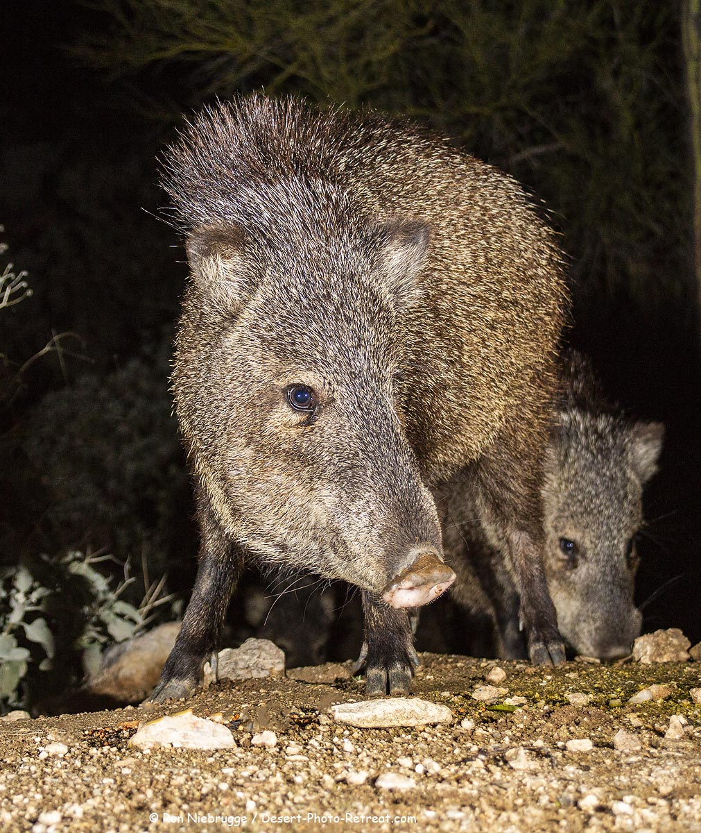 Javelina at the Desert Photo Retreat near Tucson, Arizona.