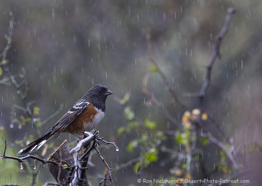 Spotted Towhee at the Desert Photo Retreat, near Tucson, Arizona.