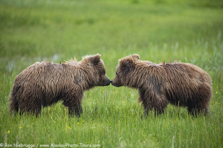 Bear cubs nose to nose, a sure sign play is about to begin! Lake Clark National Park, Alaska.