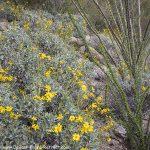 Spring Brittle-bush