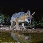 Fox Focus!