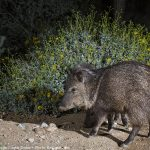 Night Javelina
