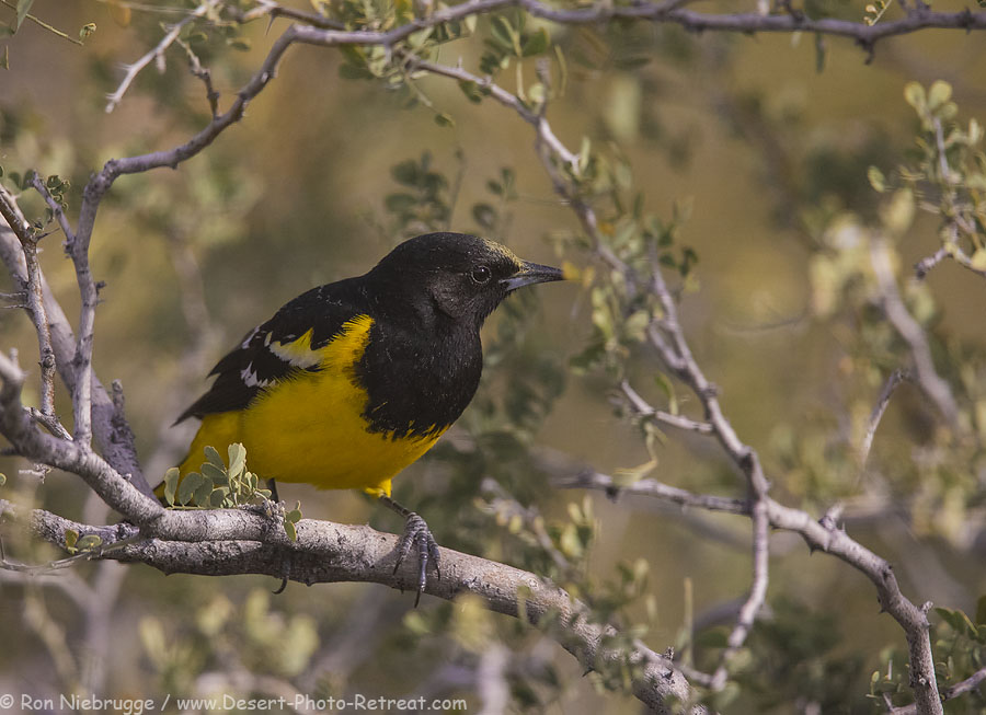 Scott's Oriole, Desert Photo Retreat, Arizona.
