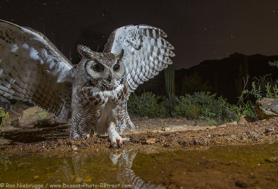 Great Horned Owl, Desert Photo Retreat, near Tucson, Arizona.
