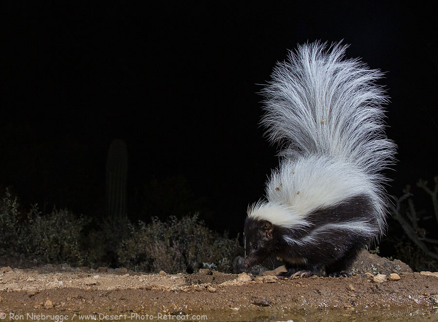 Hooded skunk, Desert Photo Retreat, Arizona.