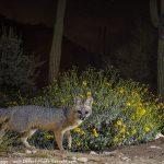 Starry Fox