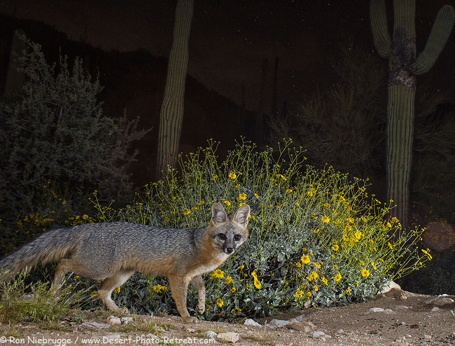 Gray fox under the stars, Desert Photo Retreat, Arizona.
