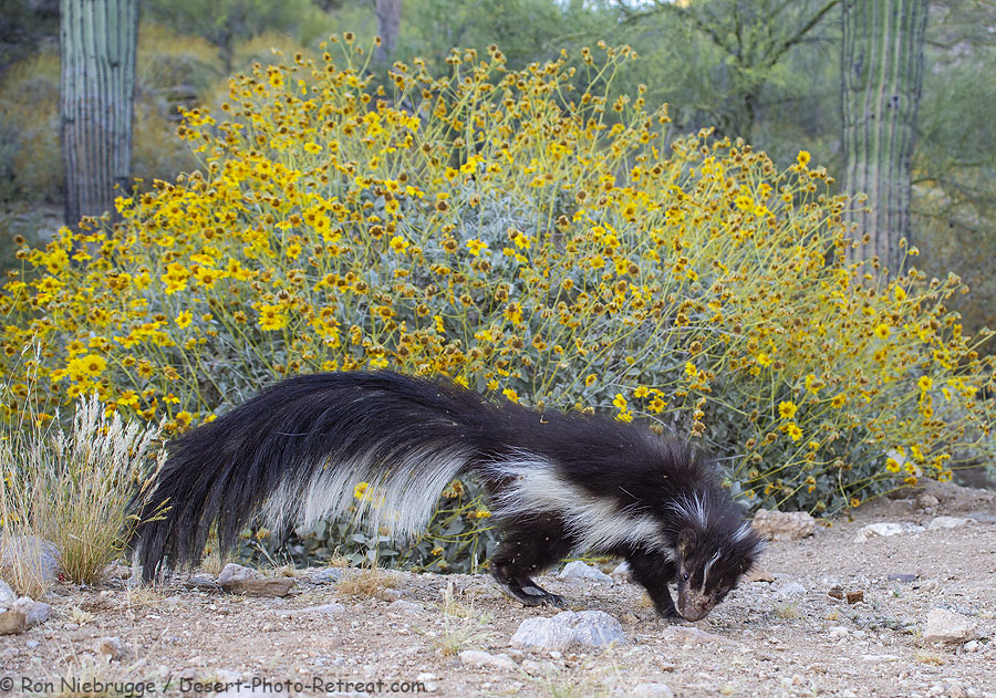 Striped skunk, Desert Photo Retreat, Arizona.