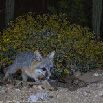 The Gray Fox of Desert Photo Retreat