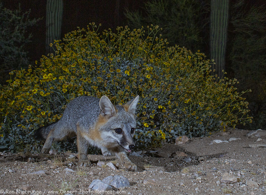 Gray fox, Desert Photo Retreat, near Tucson, Arizona.