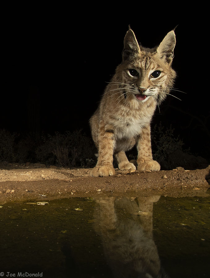 Bobcat, Desert Photo Retreat, Arizona. Photo by Joe McDonald.