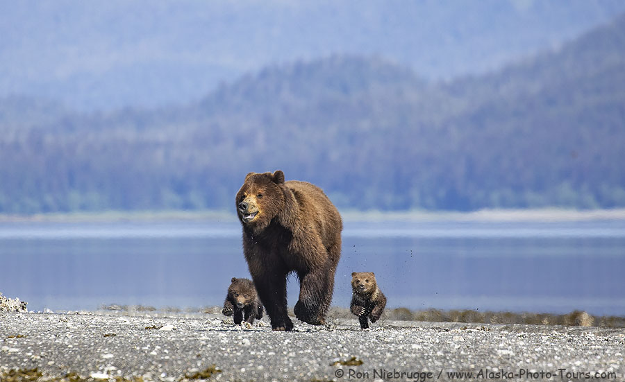 Back from a fun photo tour in Southeast Alaska! Here is a brown bear sow with cubs running from a boar (male) bear last week at Pack Creek, Alaska.