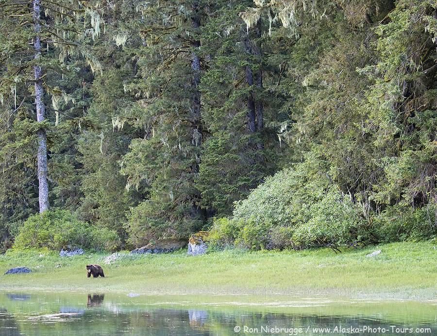 A brown bear in Red Bluff Bay, Tongass National Forest, Alaska.