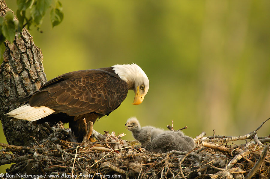 Nesting Bald Eagle, Anchorage, Alaska.