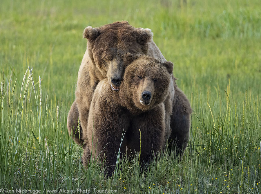 Brown bears mating, Lake Clark National Park, Alaska.