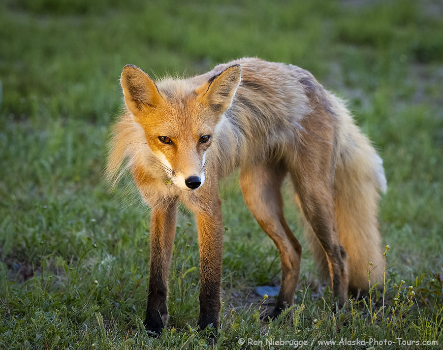 Red fox photo.