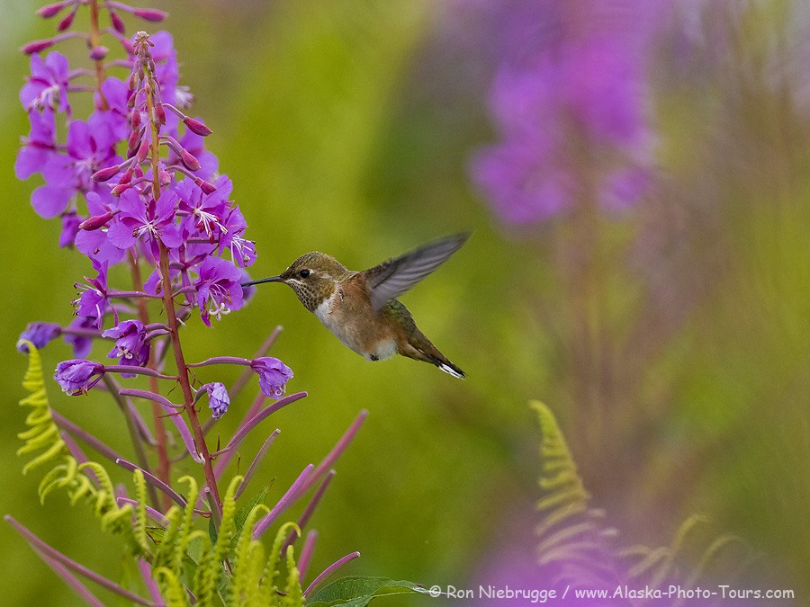 Rufous Hummingbird, Fireweed field, Tracy Arm, Tongass National Forest, Alaska.