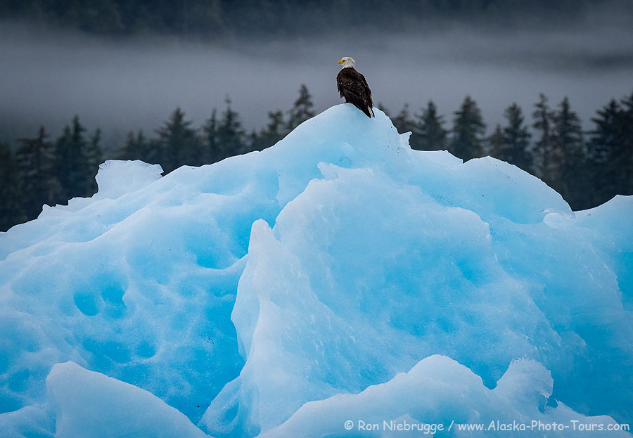 Eagle on an iceberg, Southeast Alaska.