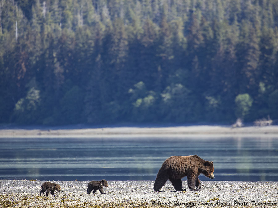 Sow and spring cubs, Pack Creek, Tongass National Forest, Alaska.