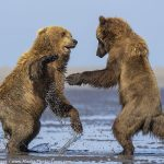 Brown Bears Playing!