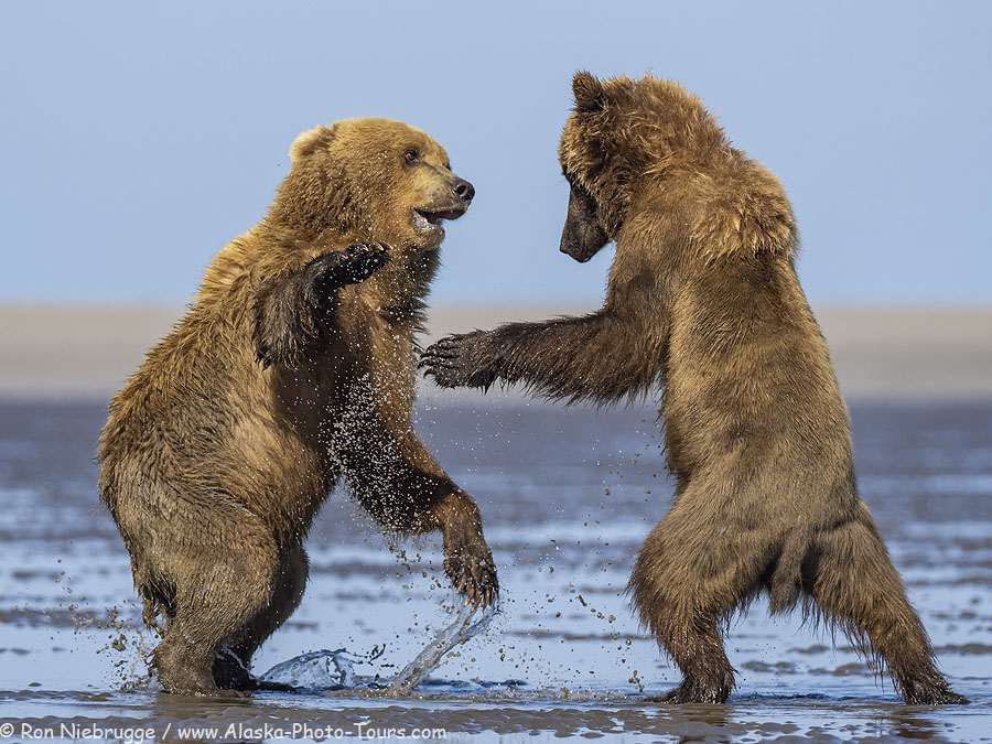 Brown bears at play, Alaska.