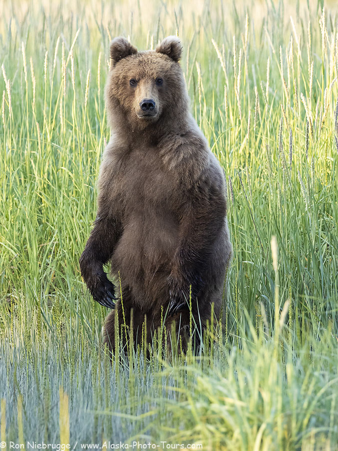 Brown bear last week in Lake Clark National Park, Alaska.