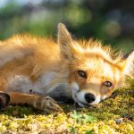 Red Fox Nap