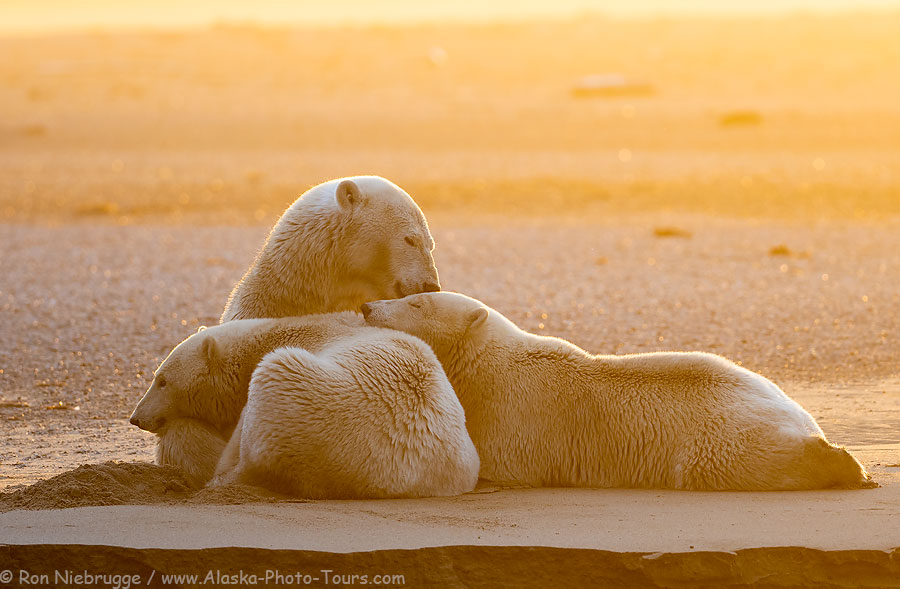 A polar bear family at sunset earlier this fall in Alaska.