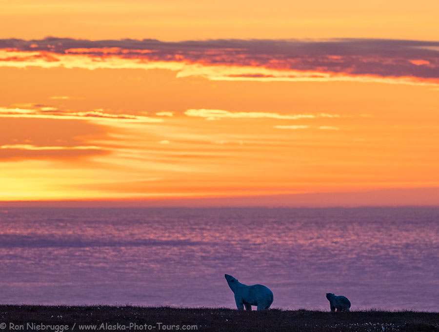 A polar bear sow and cub over look the Beaufort Sea.