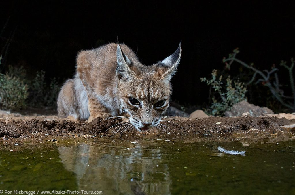 A bobcat from this past May at the Desert Photo Retreat, Arizona.