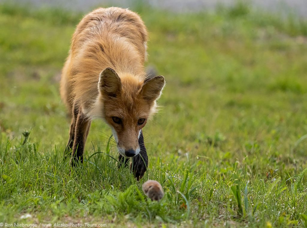 A red fox chasing a small vole, Lake Clark National Park, Alaska.