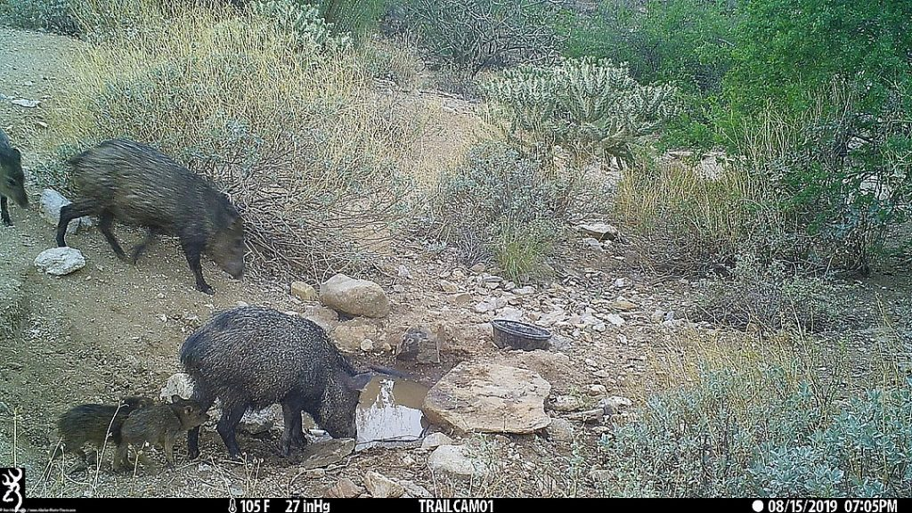 Part of of javelina group with two young. In other photos I saw as many as 3 new ones.